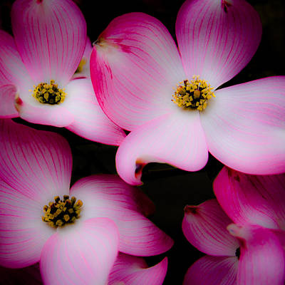 The Dogwood Flower Print by David Patterson