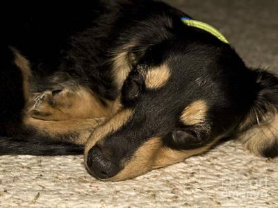 Dachshund Puppy Digital Art - The Little Dachshund by Tasha Tuckwell