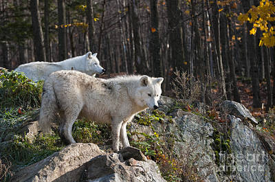 Black. Arctic Wolf Photograph - The Lookout by Michael Cummings