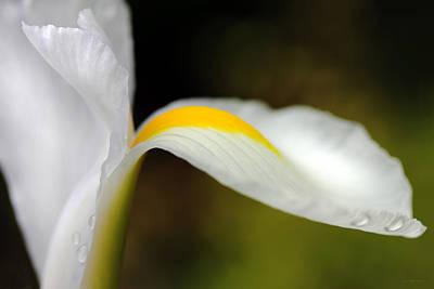 The Pose White Dutch Iris Flower  Print by Jennie Marie Schell