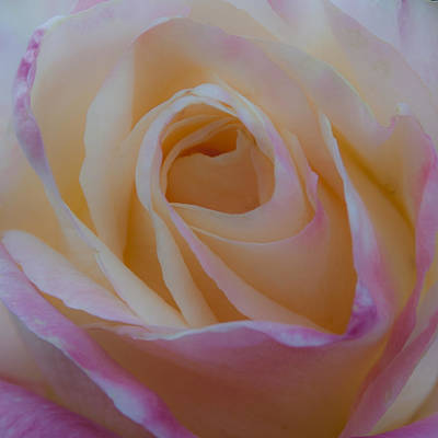 Rose Photograph - The Princess Diana Rose by David Patterson