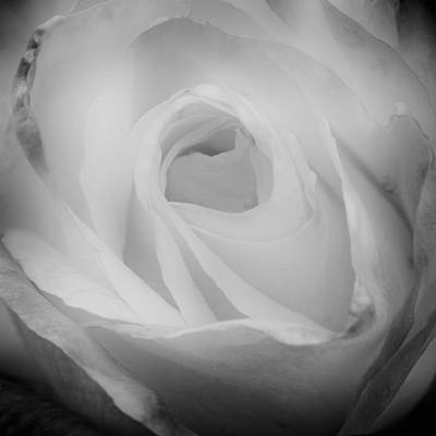 Monotone Photograph - The Princess Diana Rose IIi by David Patterson