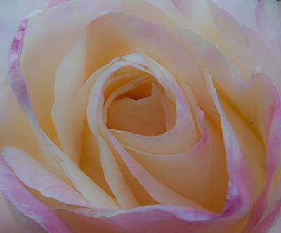 Rose Photograph - The Princess Diana Rose Iv by David Patterson