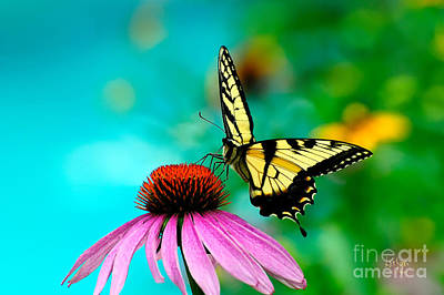 Swallow Tail Photograph - The Return by Lois Bryan