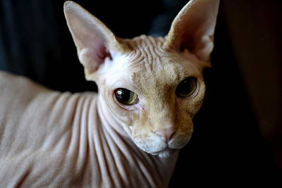 Hairless Cat Photograph - The Skin I'm In by Fraida Gutovich