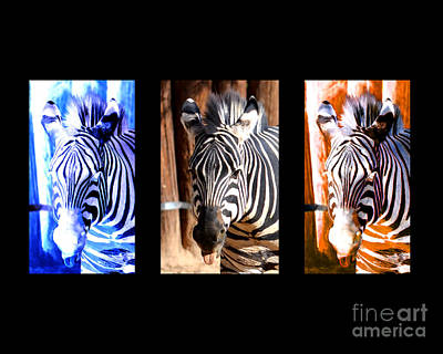 Of Zebras Photograph - The Three Zebras Black Borders by Rebecca Margraf