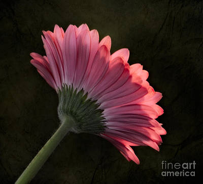 Gerber Daisy Photograph - There Is Always Two Sides by Susan Candelario
