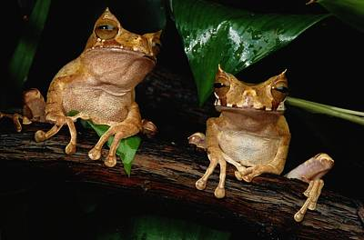 Marsupial Frog Photograph - These Are Marsupial Frogs Gastrotheca by George Grall