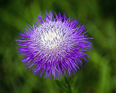 Thistle II Print by Tamyra Ayles