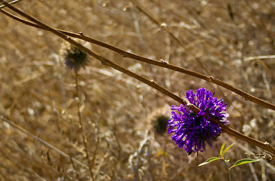 Flower Photograph - Thistle by Nadya Ost