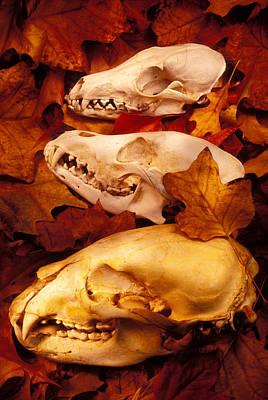 Three Animal Skulls Print by Garry Gay