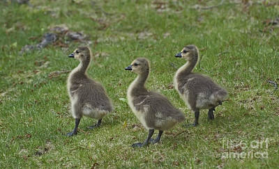 Three Baby Geese Original by Ruth H Curtis