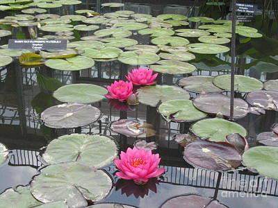 Three Pink Water Lilies Print by Portia Petty