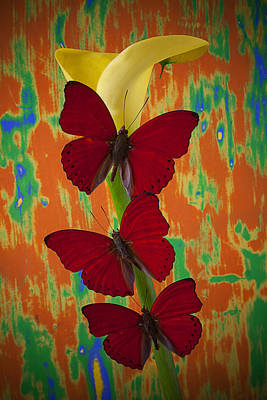 Three Red Butterflies On Yellow Calla Lily Print by Garry Gay