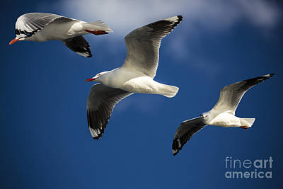 Three Silver Gulls Print by Avalon Fine Art Photography