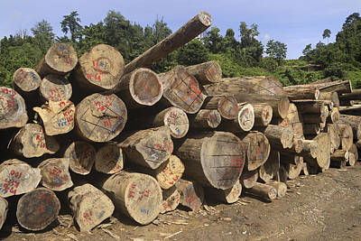 Danum Valley Conservation Area Photograph - Timber At A Logging Area, Danum Valley by Thomas Marent