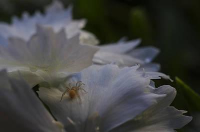 Spider Photograph - Tiny Spider On White Flower by Scott McGuire