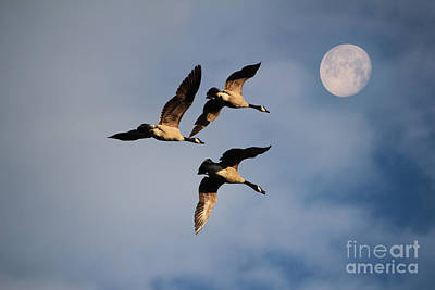 Geese Mixed Media - To The Moon And Back by Marjorie Imbeau