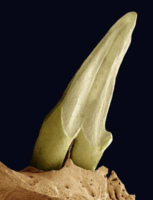 Tooth Fossil, Sem Print by Steve Gschmeissner