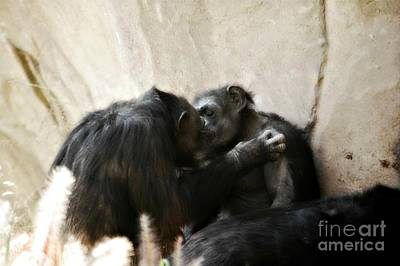 Touching Moment Gorillas Kissing Print by Peggy  Franz