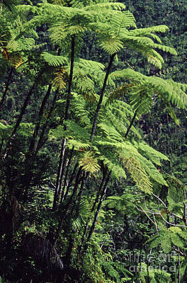 Tropical Rainforest Digital Art - Tree Ferns El Yunque by Thomas R Fletcher