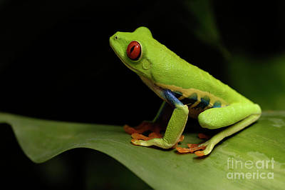 Tree Frog 14 Print by Bob Christopher