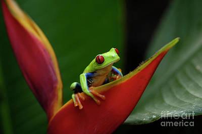 Tree Frog 23 Print by Bob Christopher