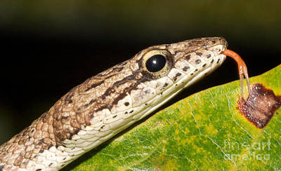 Tree Snake  Print by Gary Bridger