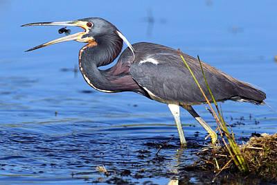 Tri Heron Fishing Print by Rick Mann