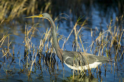 Tricolored Heron Hunting Print by Rich Franco