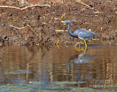 Tricolored Heron In The Winter Marsh Print by Louise Heusinkveld
