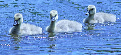Trio Of Baby Geese Print by Becky Lodes
