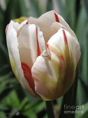 Mccombie Photograph - Triumph Tulip Named Carnaval De Rio by J McCombie