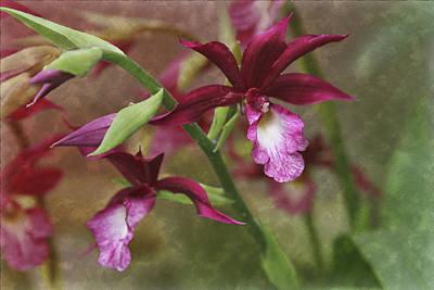 Cattleya Photograph - Tropical Beauty by Debra and Dave Vanderlaan