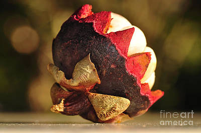 Tropical Mangosteen - The Medicinal Fruit Print by Kaye Menner