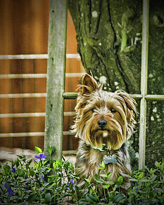 Silky Terrier Photograph - Trouble Again by DMSprouse Art