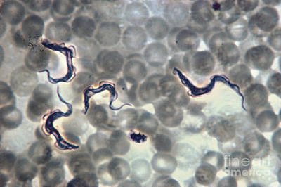 Trypanosoma Gambiense Print by Eric V. Grave