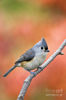 Tufted Titmouse Photograph - Tufted Titmouse - D007808 by Daniel Dempster