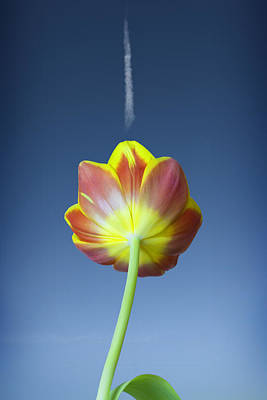 Pompons Photograph - Tulip by Al Hurley