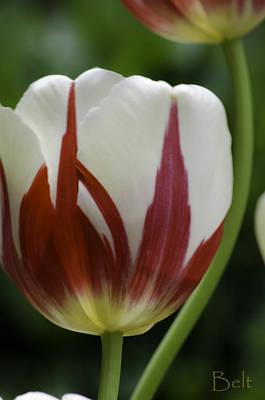 Artist Christine Belt Photograph - Tulip Curves by Christine Belt