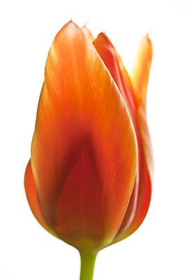 Tulpe Photograph - Tulip by Falko Follert