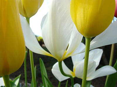Tulip Flowers Art Prints Yellow White Tulips Floral Print by Baslee Troutman