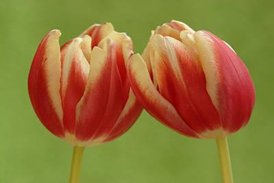 Tulip Tulipa Sp Pair, Hoogeloon Print by Silvia Reiche