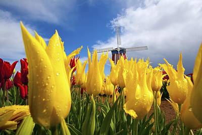 Woodburn Photograph - Tulips In A Field And A Windmill At by Craig Tuttle