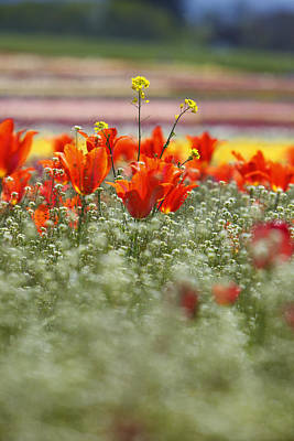 Close Focus Nature Scene Photograph - Tulips In A Field At Wooden Shoe Tulip Farm by Design Pics / Craig Tuttle
