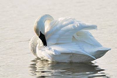 Tumpeter Swan Print by Larry Ricker