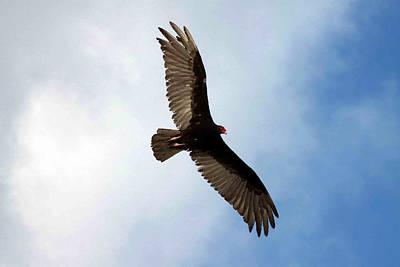 Turkey Vulture In Flight Print by Joe Myeress