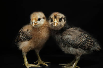Two Baby Chicks Print by Monica Fecke