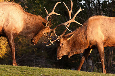 Two Bull Elk Sparring 91 Print by James BO  Insogna