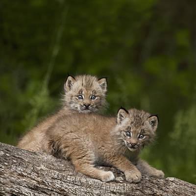 Canadian Lynx Photograph - Two Canada Lynx Lynx Canadensis Kittens by Richard Wear